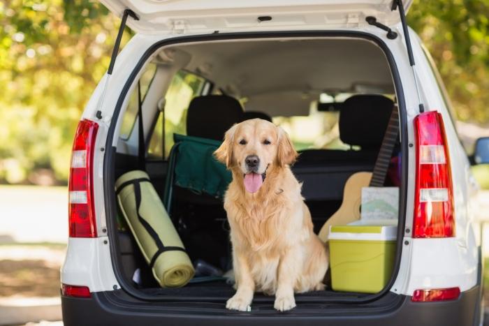 Golden Retriever dog sat in the car